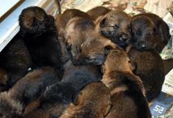 19-day old litter of German Shepherd