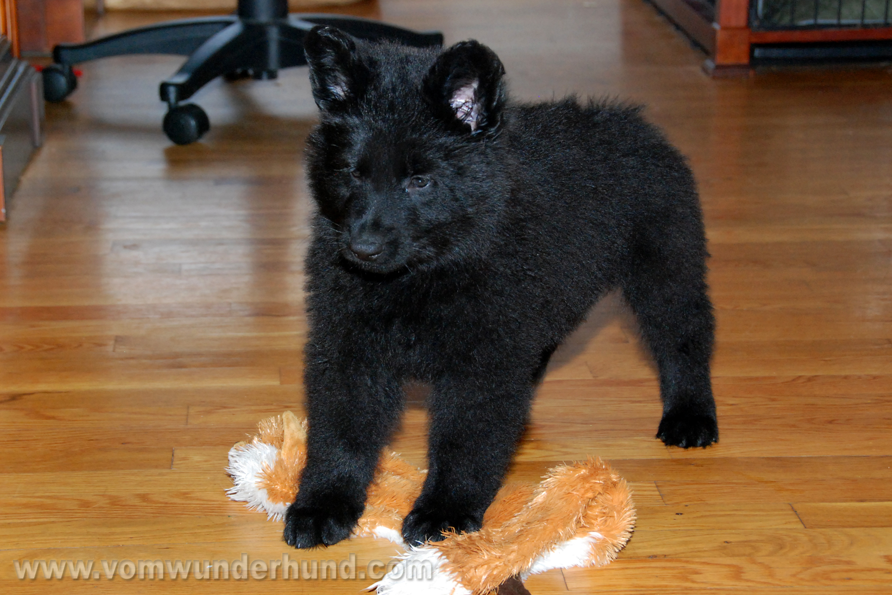 ct-german-shepherd-puppies-day50-11