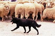 shepherd-dog-herding-sheep.jpg