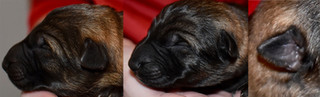 newborn puppy ears copy.jpg
