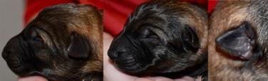 newborn puppy ears copy.jpg