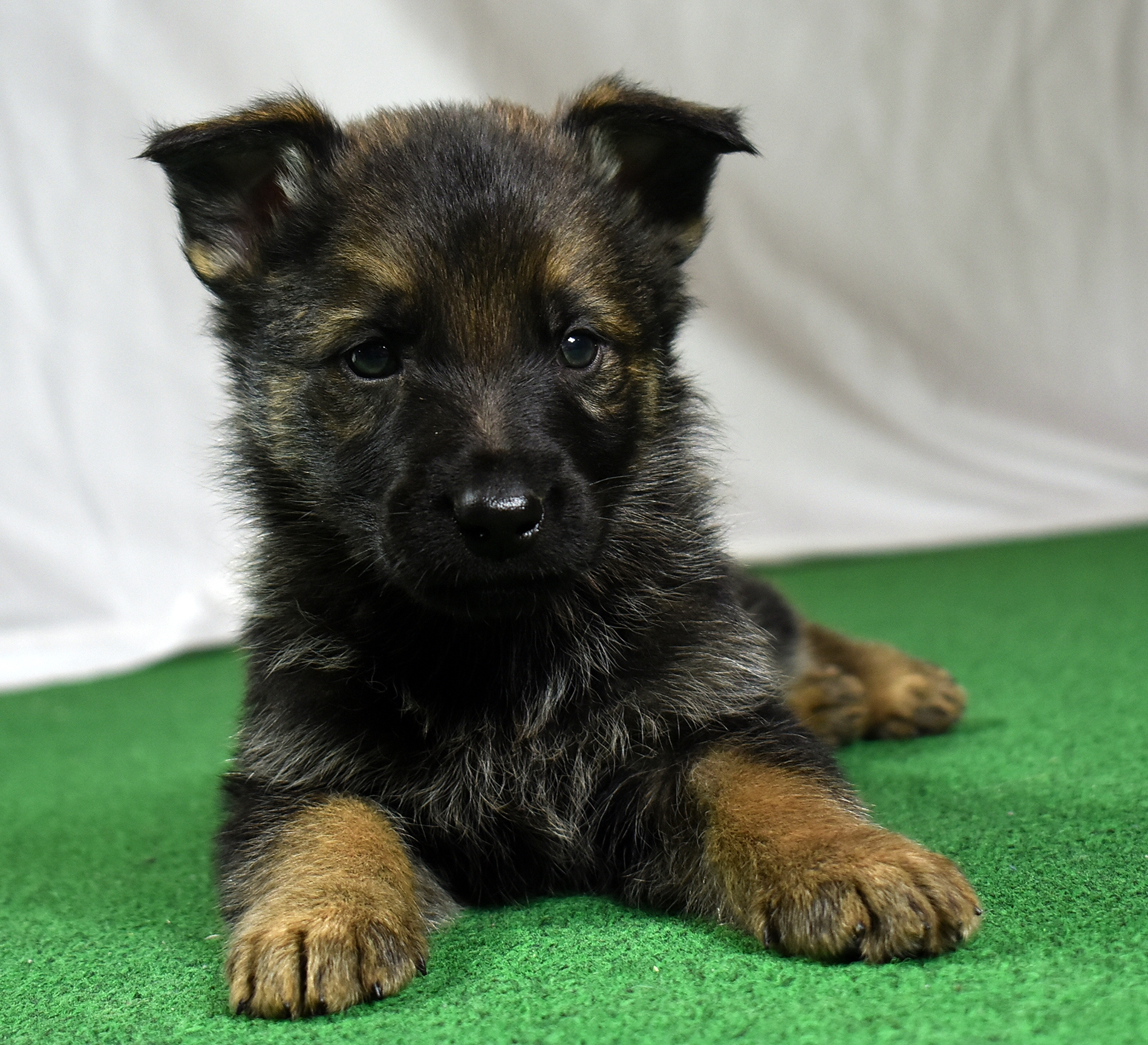 39-day old German Shepherd puppy