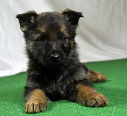 39-day old German Shepherd puppy