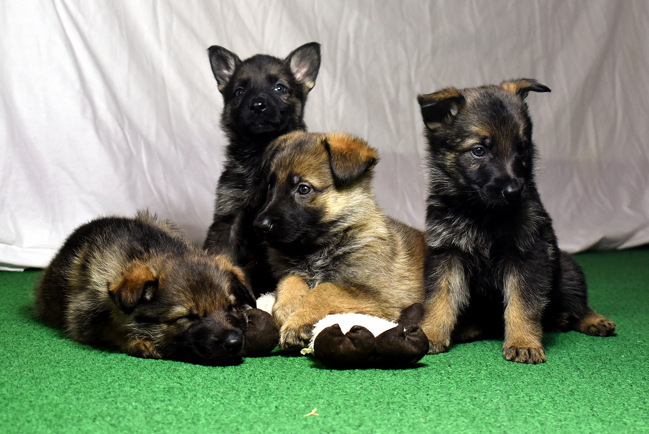 39-day old German Shepherd puppies