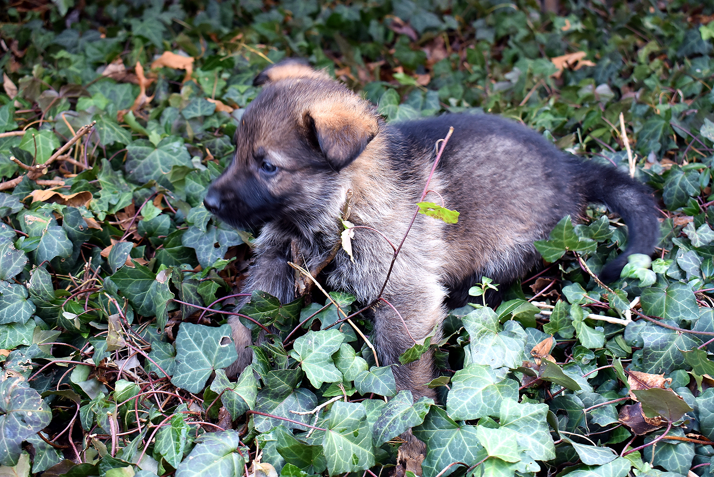 GSD puppy outside in ivy