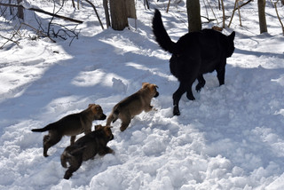 Puppies following mom in the snow