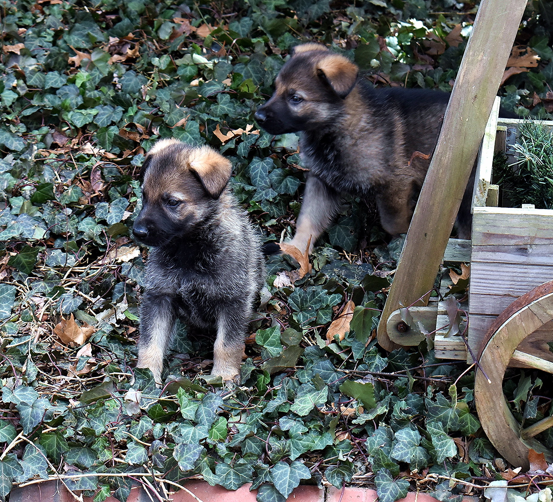 Two GSD puppies sitting in ivy