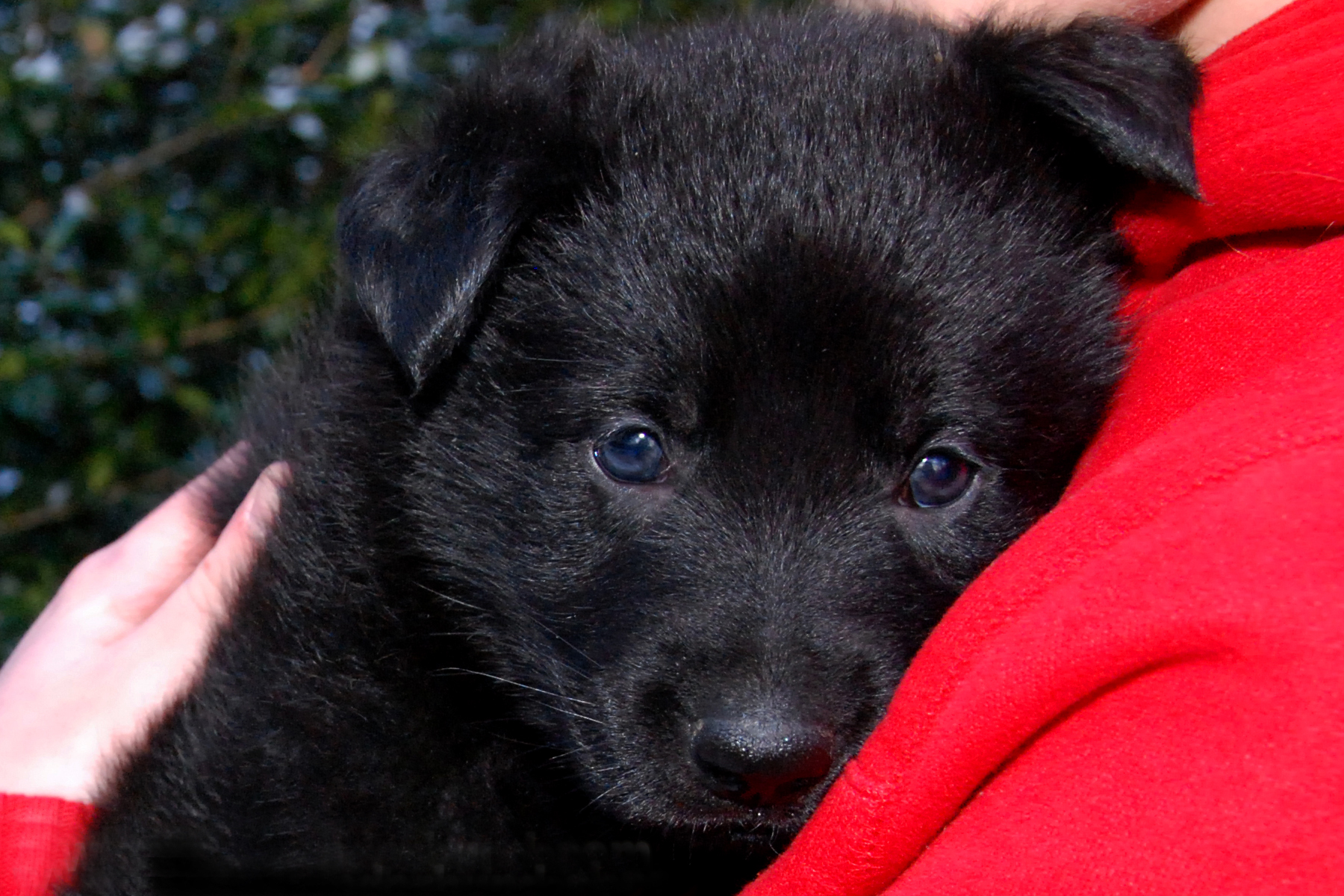 00ct-german-shepherd-puppies-day37-04
