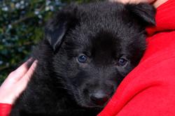 00ct-german-shepherd-puppies-day37-04