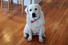 white-labrador-ferb-l.jpg