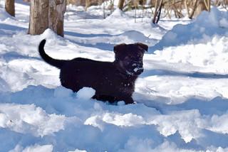 Snow puppy