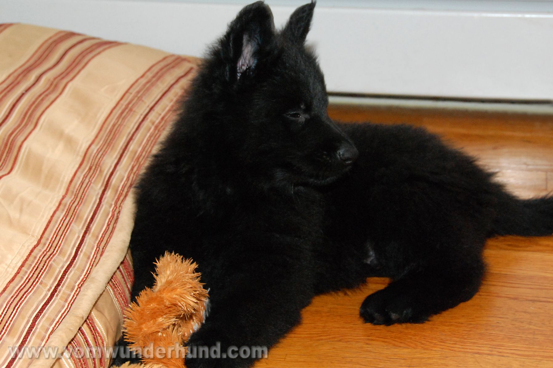 ct-german-shepherd-puppies-day50-09
