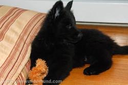 ct-german-shepherd-puppies-day50-09