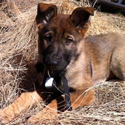 gsd-puppy-23-R-litter