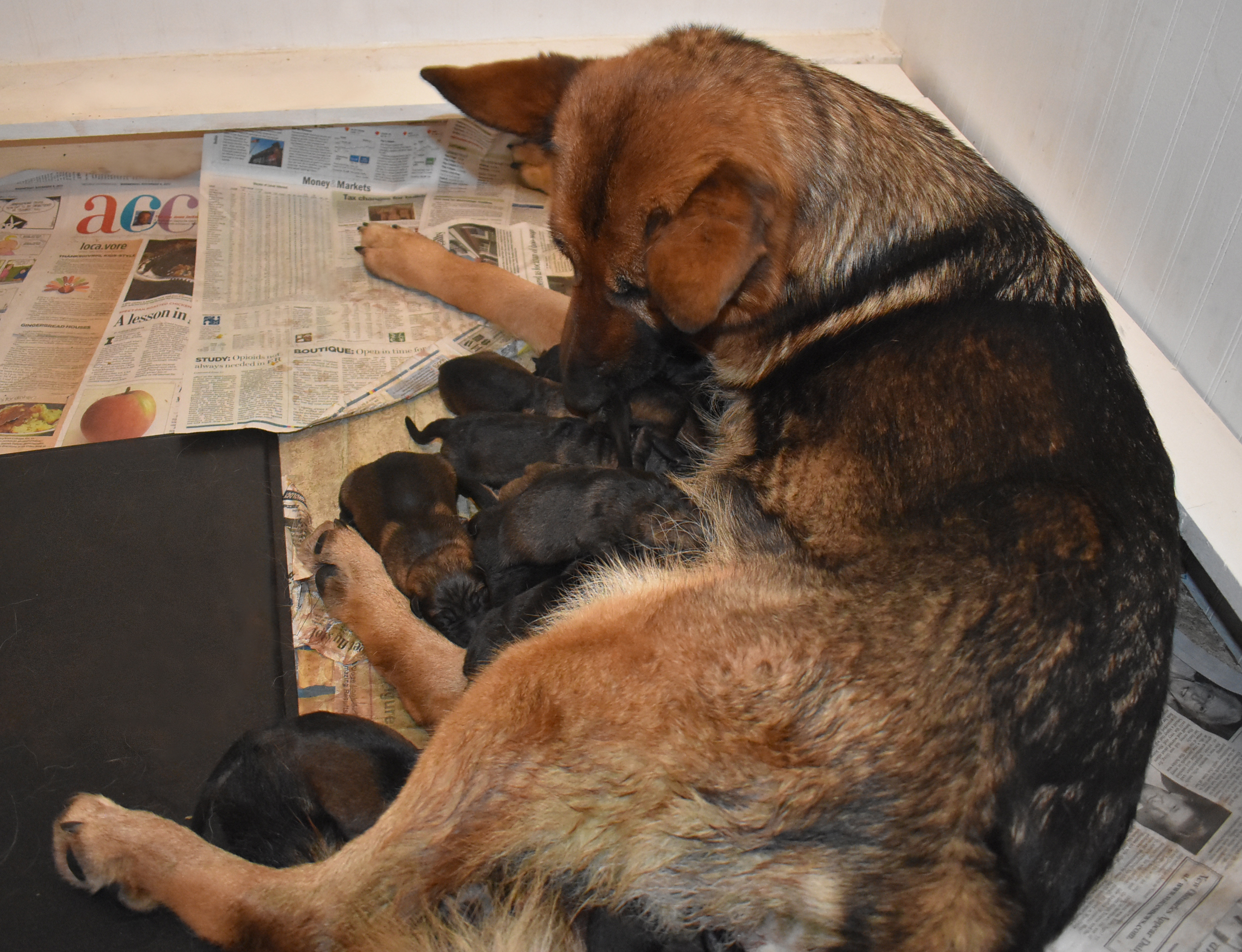 20180109_newborn_Shepherd_Puppies