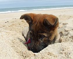 gsd-puppy-40-R-litter