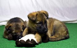 DSC_4005 -2018Feb17-puppies-Day39b--