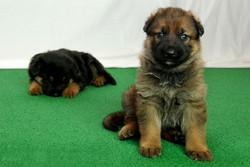 23-day old German Shepherd puppies