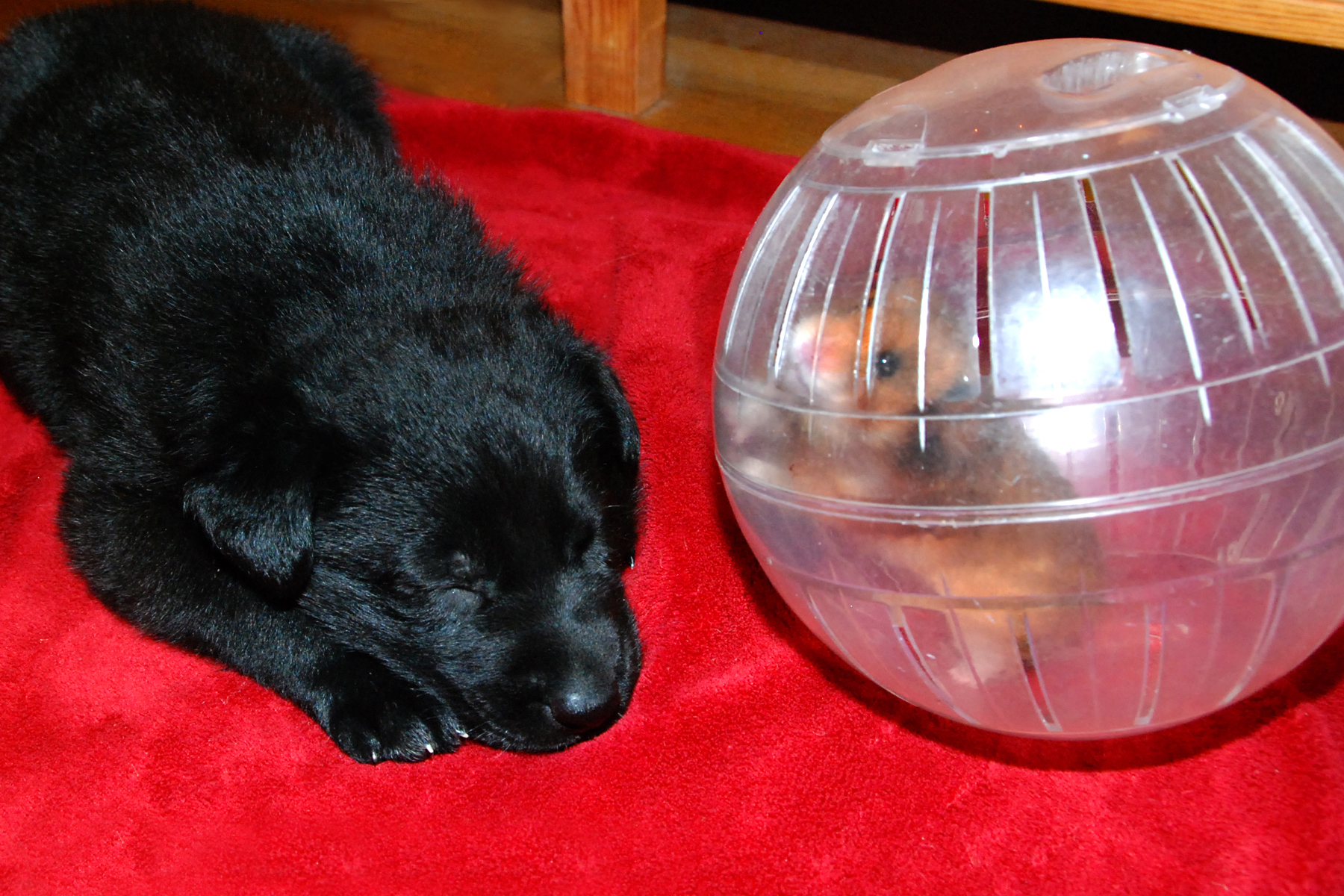 ct-ct-shepherd-puppy-hamster-day30-16b