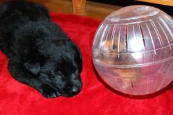 ct-ct-shepherd-puppy-hamster-day30-16b