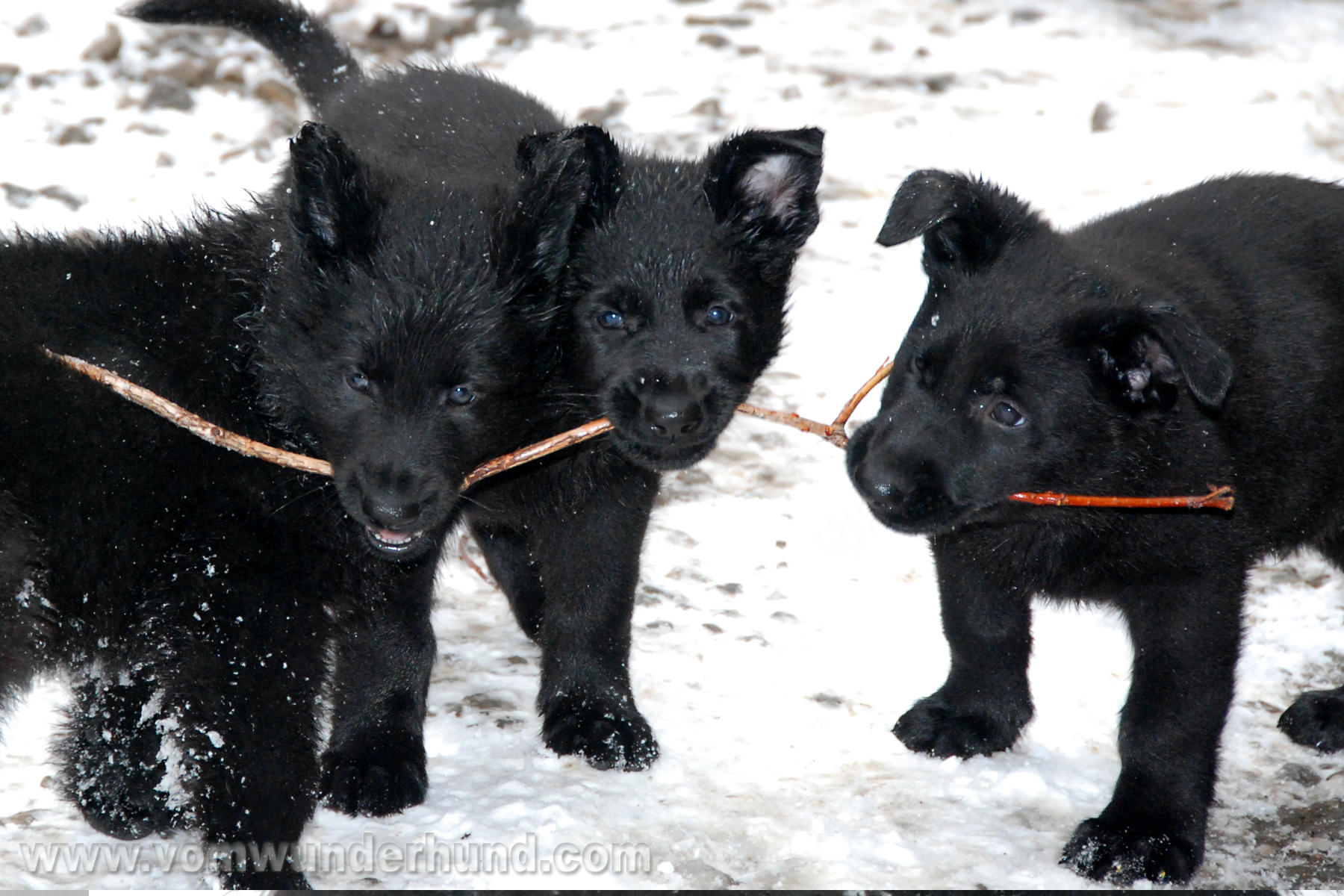 ct-german-shepherd-puppies-day49-02