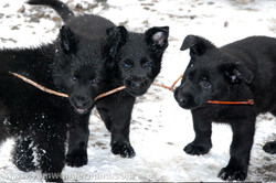 ct-german-shepherd-puppies-day49-02