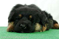 Sleepy Shepherd puppy