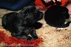 ct-german-shepherd-puppy-14days-19