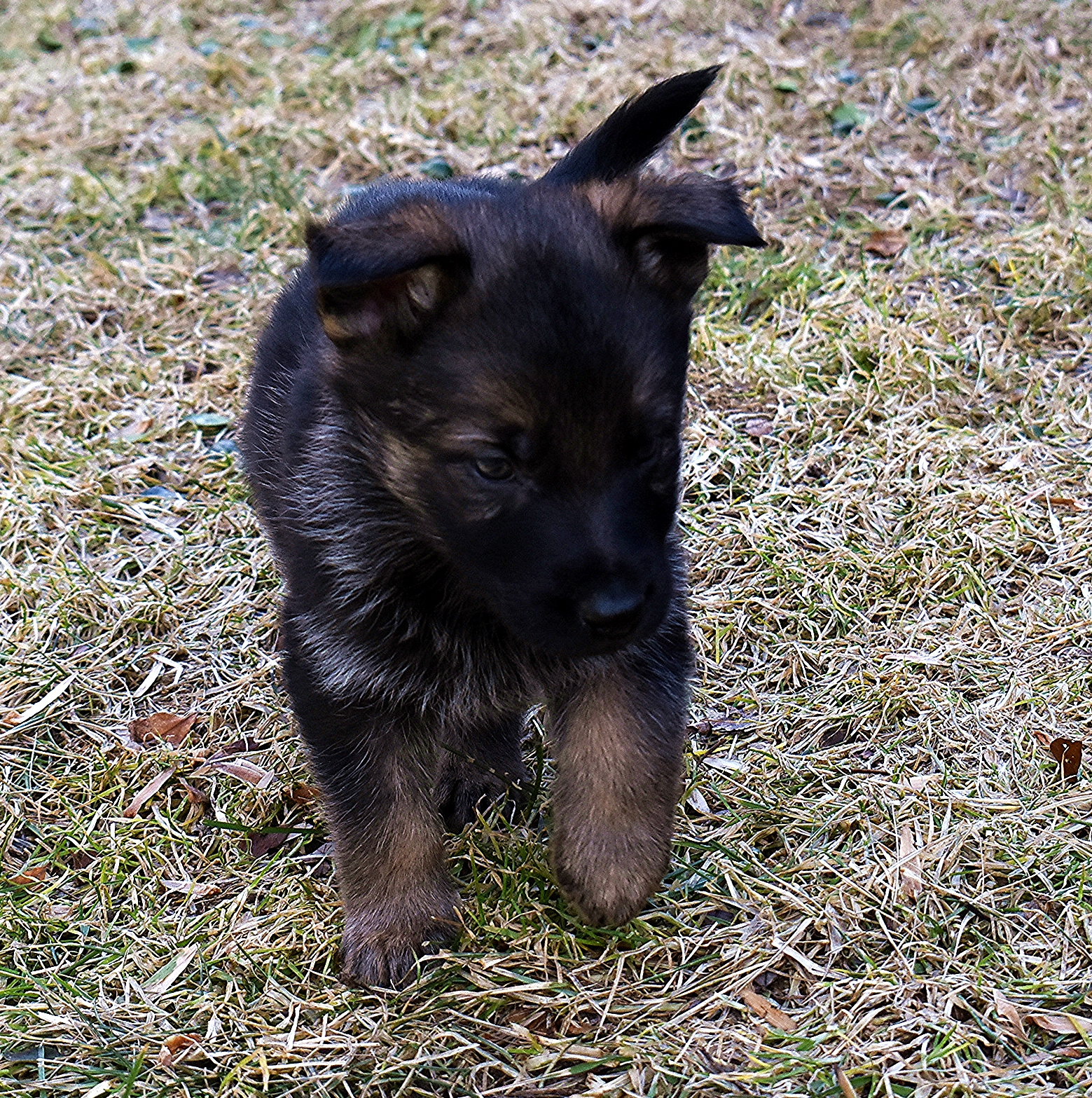 DSC_3512 -2018Feb17-puppies-Day39o