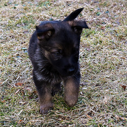 DSC_3512 -2018Feb17-puppies-Day39o