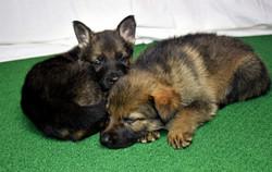 DSC_4119 -2018Feb17-puppies-Day39b-