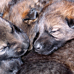 german_shepherd_puppies_02