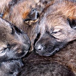 german_shepherd_puppies_02