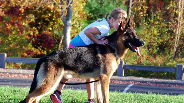 German Shepherd Dog Coat Colors