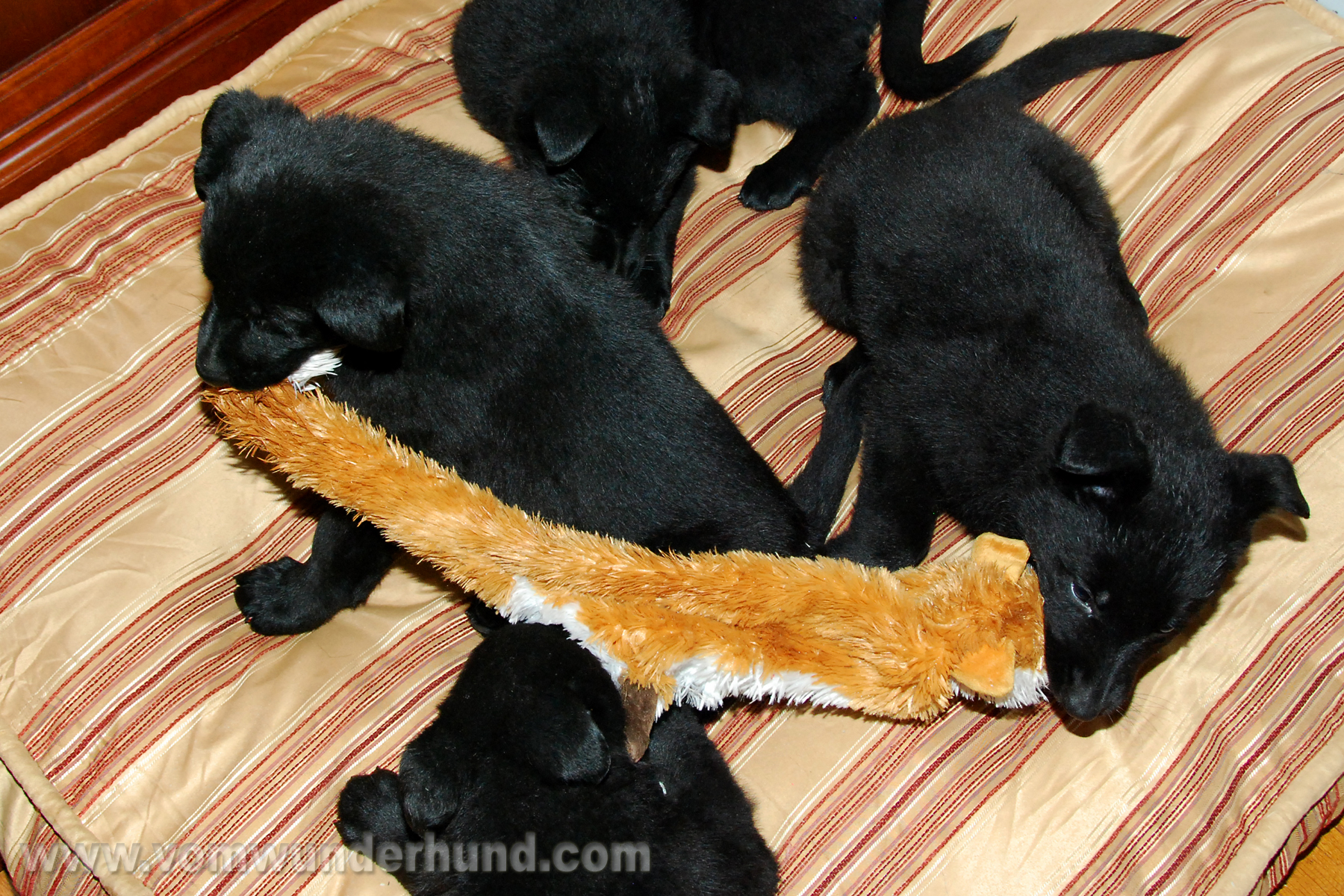 ct-german-shepherd-puppies-day44-23