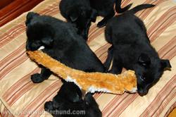ct-german-shepherd-puppies-day44-23