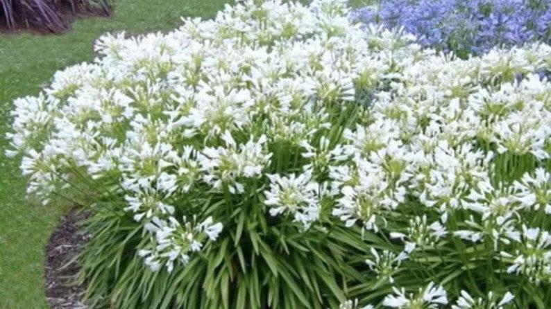 2 White Lily Agapanthus