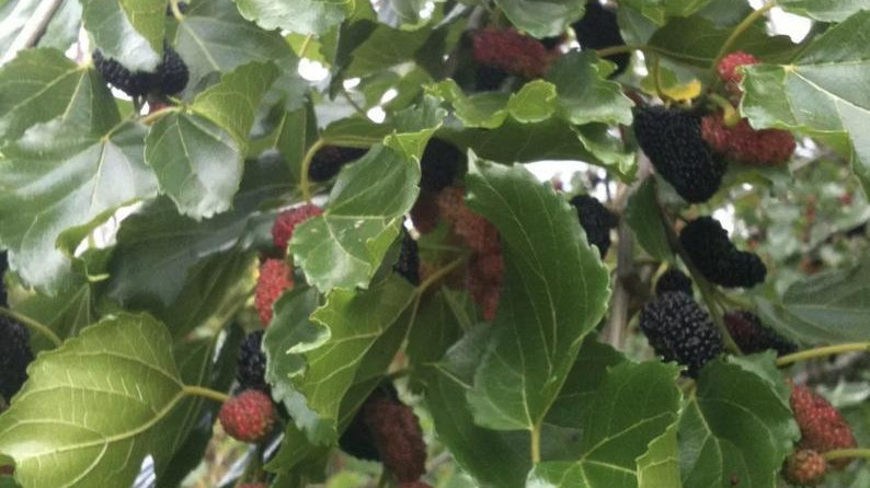 10 Mulberry 5 inches each fresh cuttings easy to root and grow