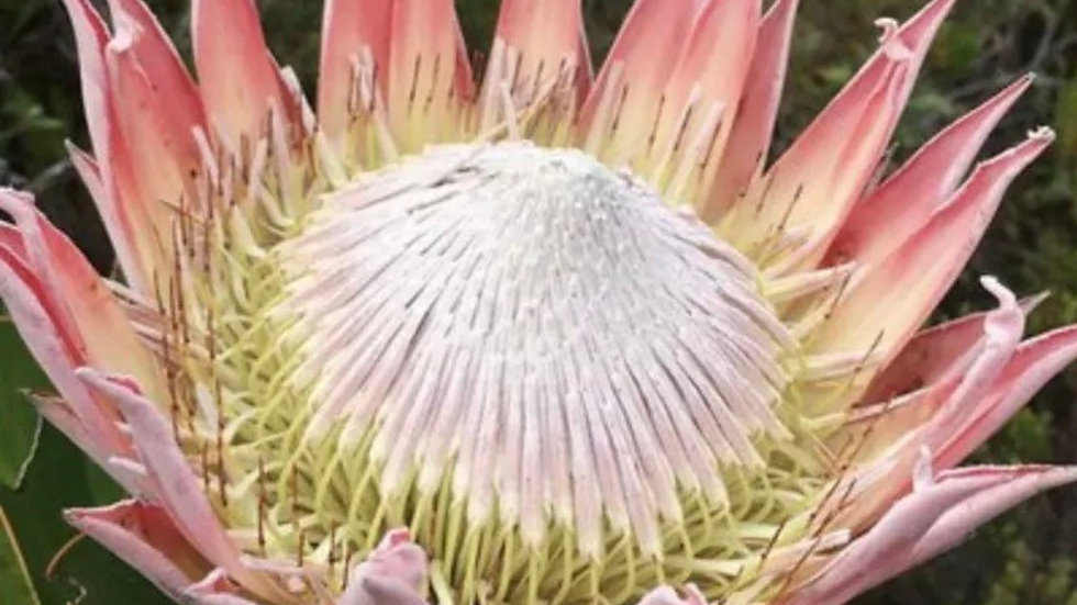 King protea plant rooted
