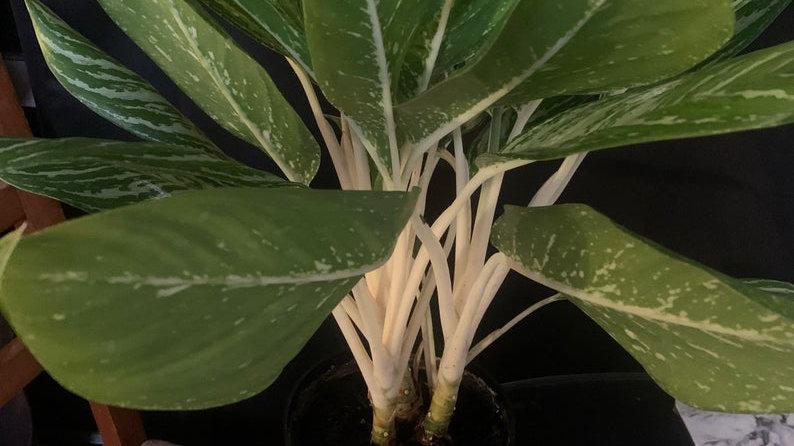 Aglaonema- white frost aka Cory