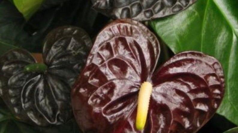 Sale- Black anthurium indoor house plant