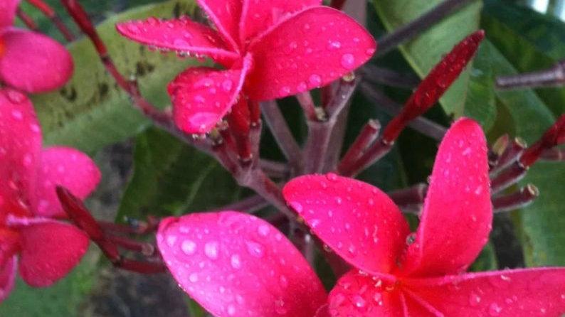 Live Plant plumeria Cutting hot pink 6-12 Cutting