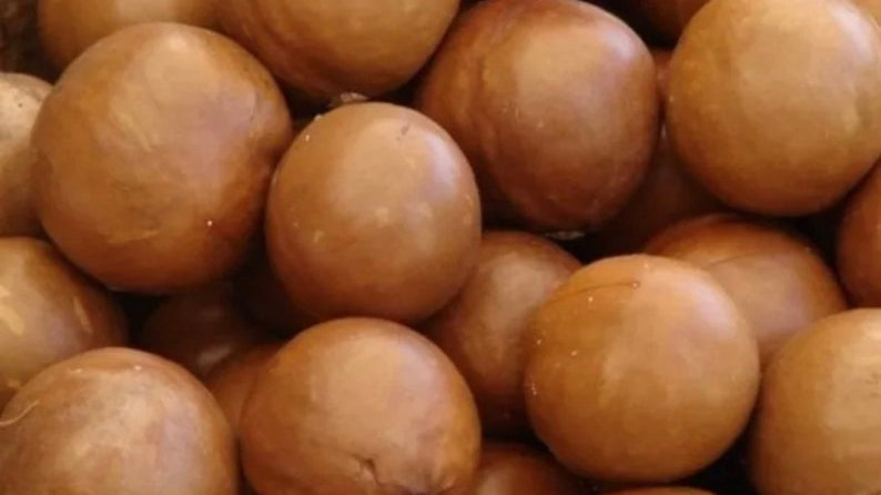Macadamia 15 nuts/seeds easy to grow and taste great