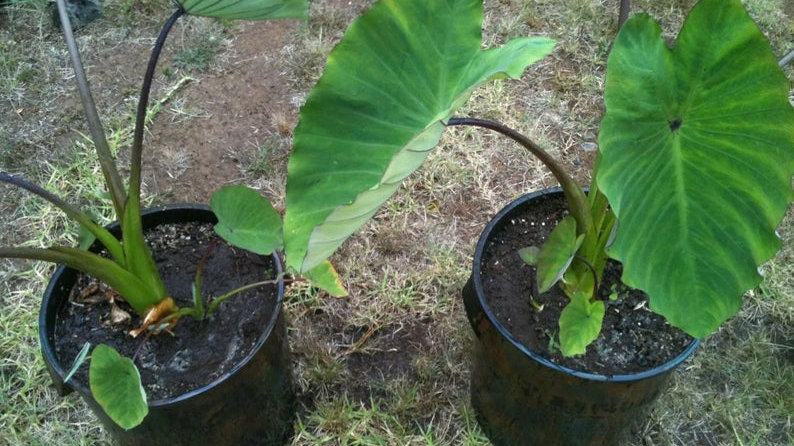 Taro  3 live Plants very Nutritious (bun long)