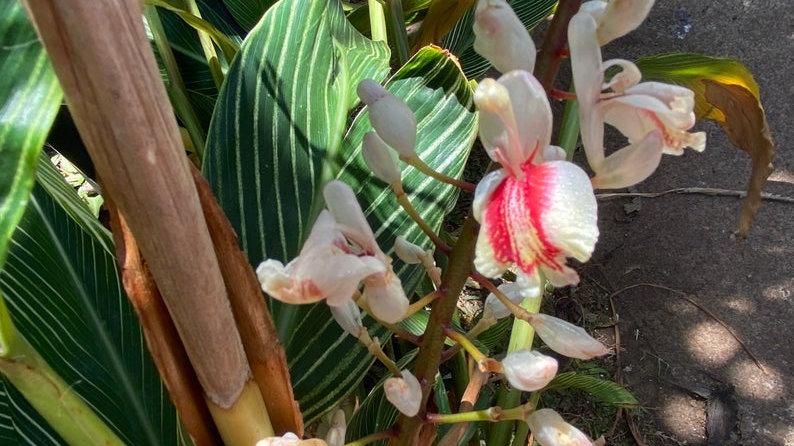 Rare Shell ginger variagated zebra 1plant/Rhizome