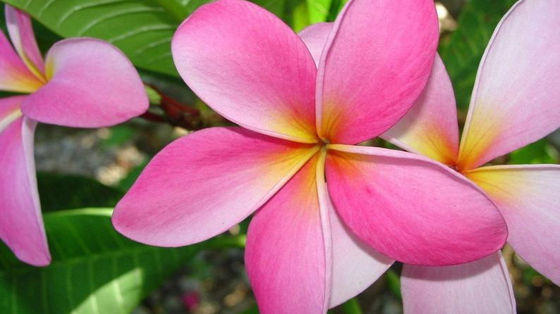 Plumeria Plant Cutting 6-12 inches easy to root and grow pukalani pink