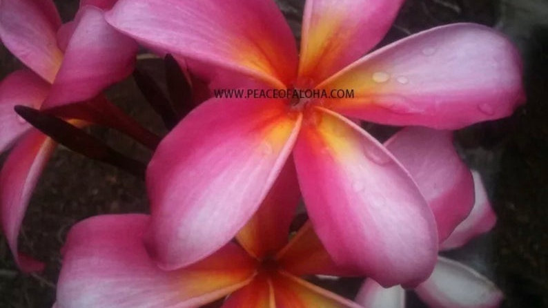 Plumeria pink mix 6-12 inch tresh cutting easy to grow.