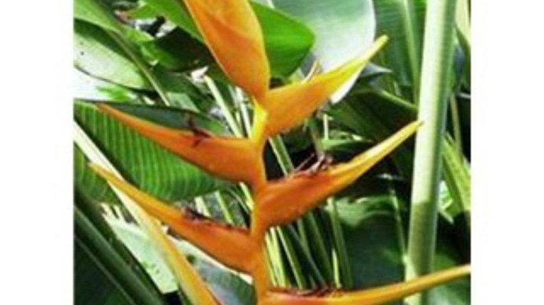 Maui gold Heliconia Plant/Rhizome