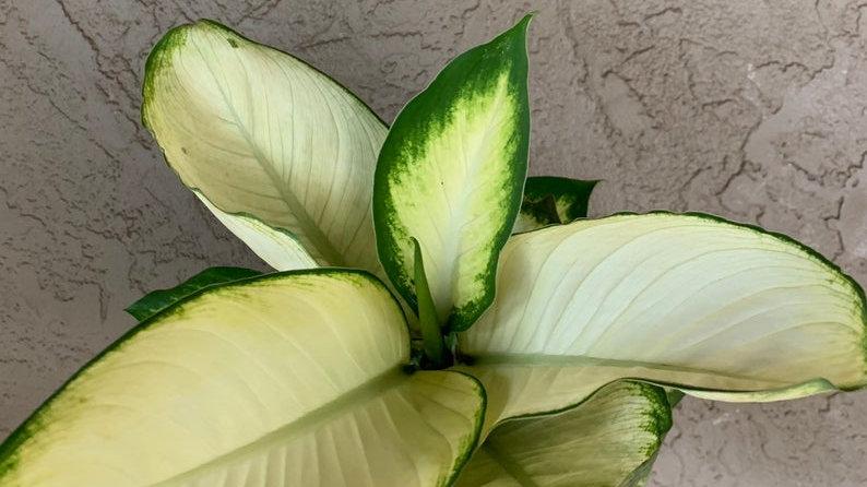 dieffenbachia saribus rotundilfolius