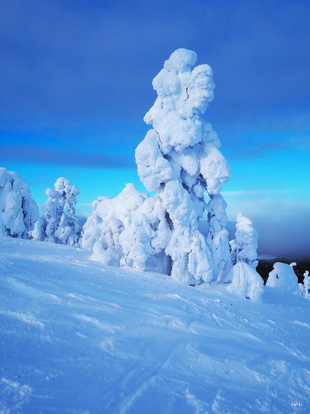 Pyhä luminen mänty